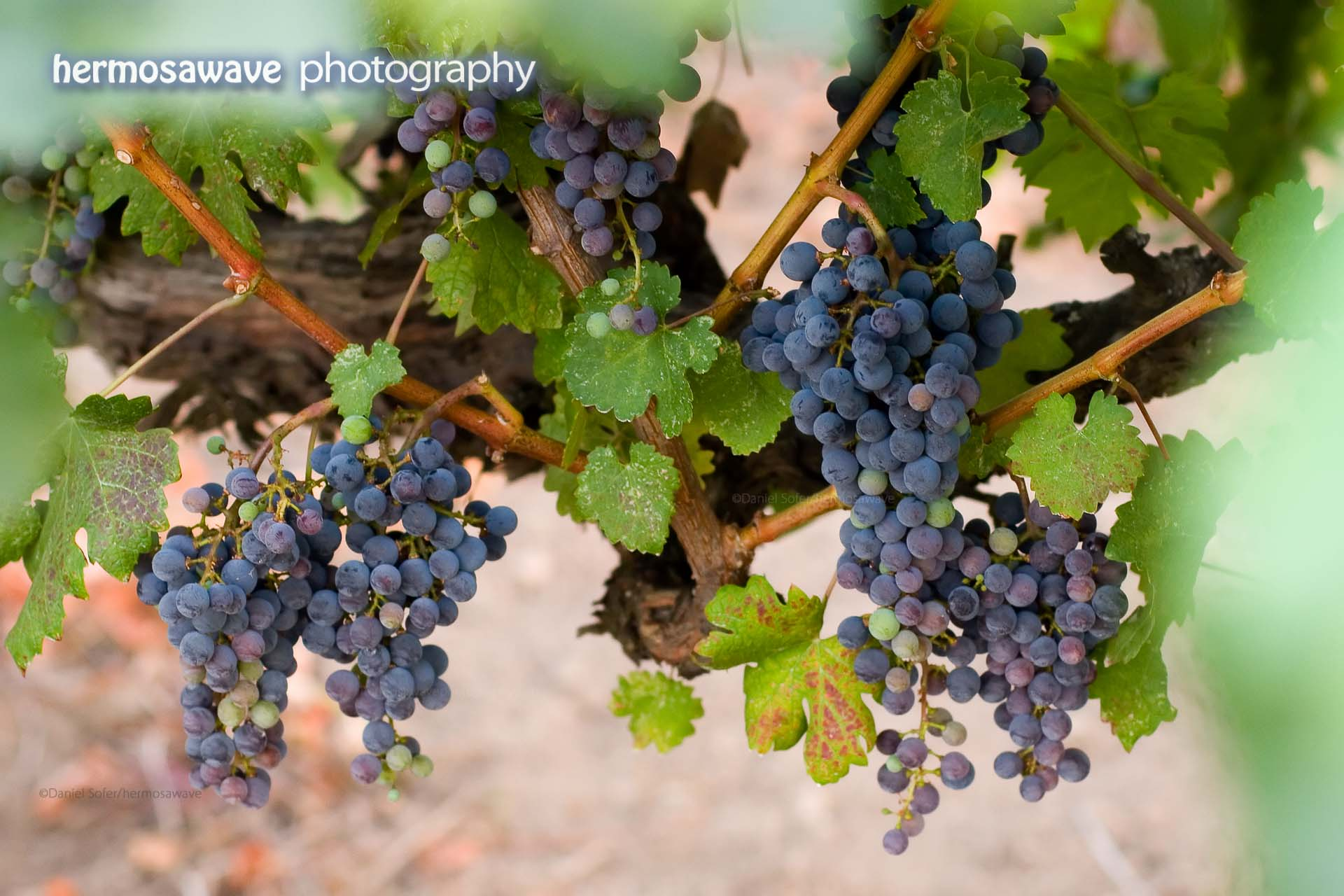 The Grapes of Summer