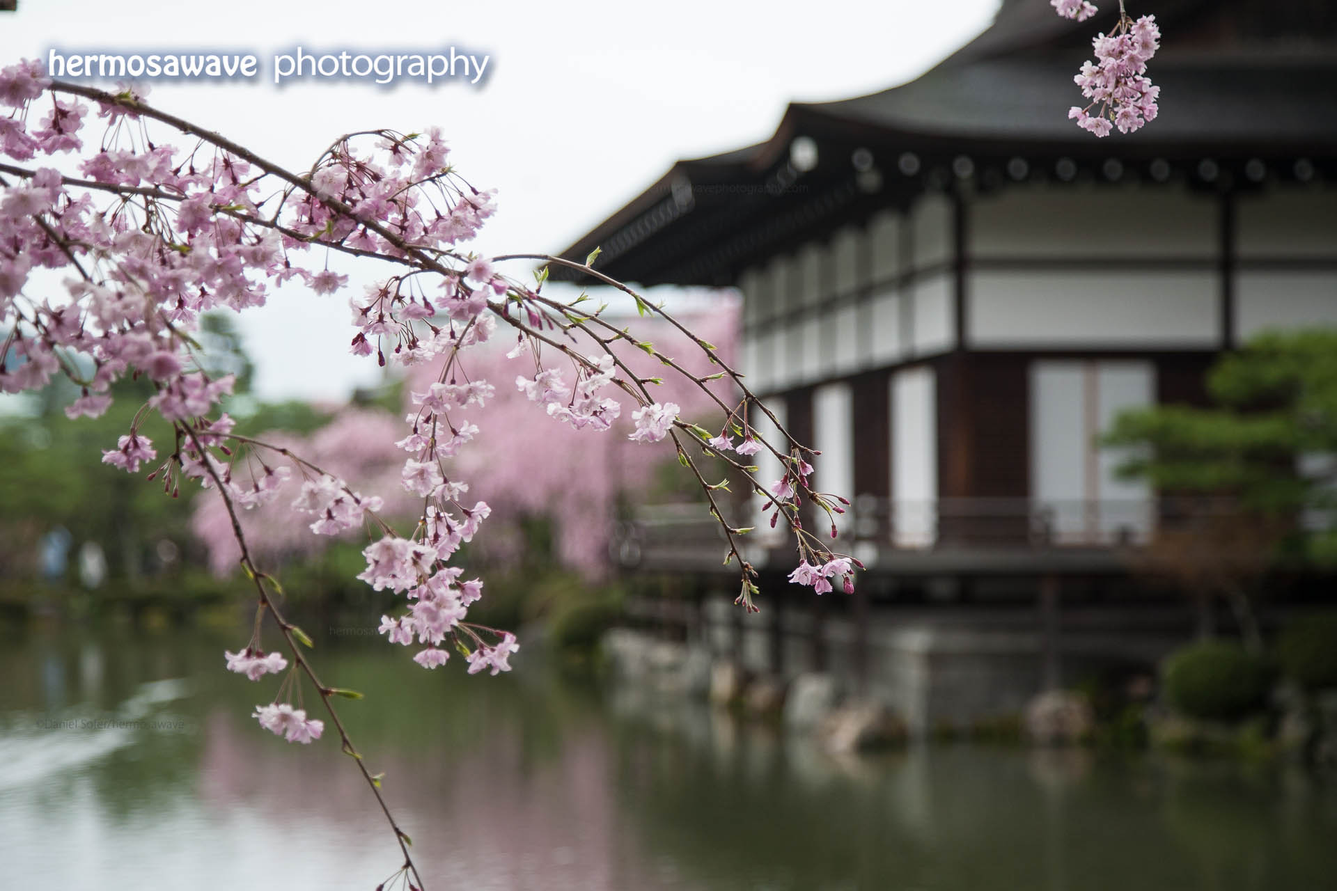 Cherry Blossoms at Heian Jingu