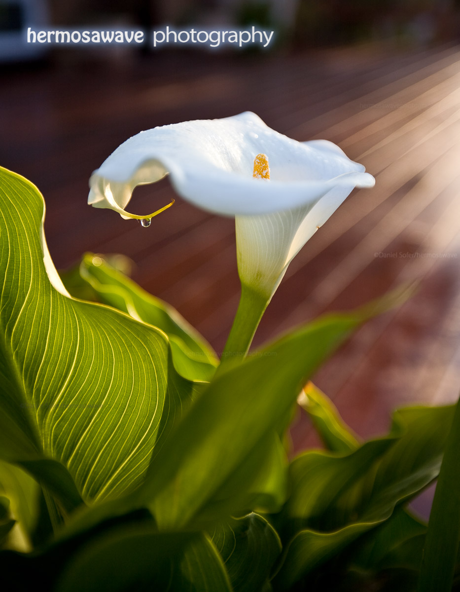 Cala Lily In The Morning Sun