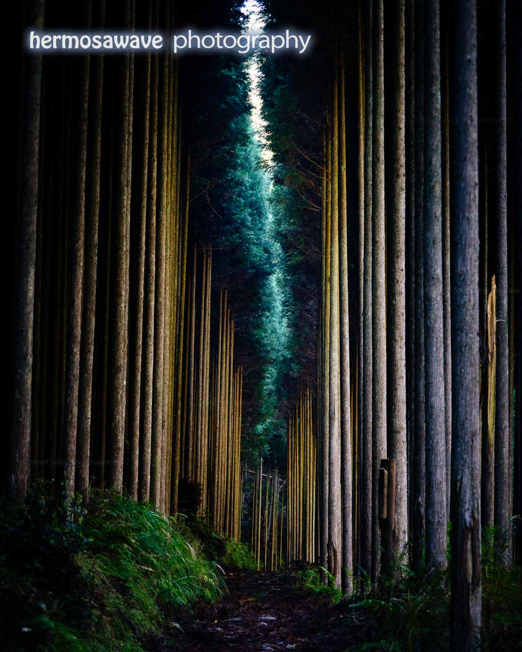 Japanese Cedars in the Forest