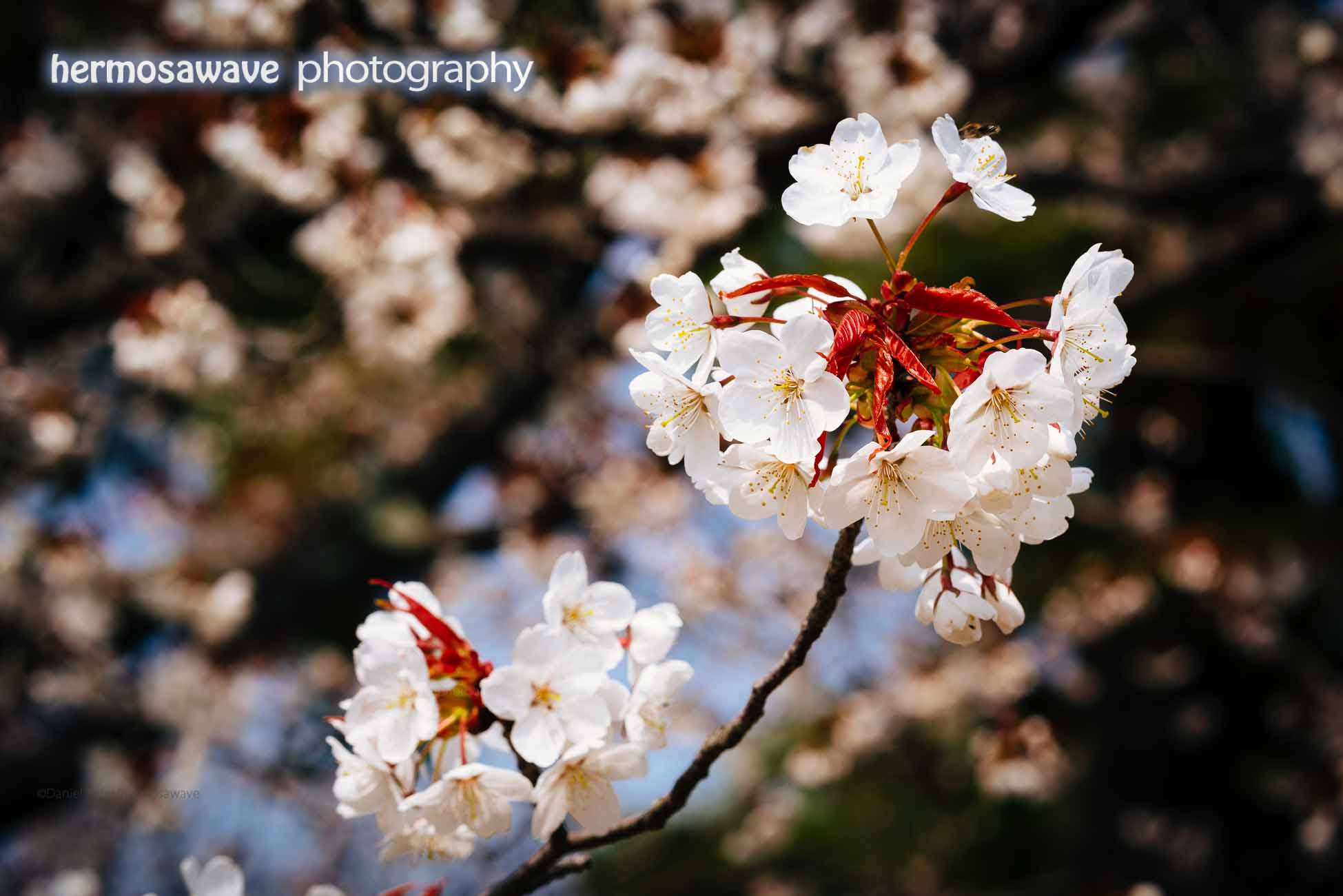 Cherry Blossoms at Kyoto's Imperial Palace Garden
