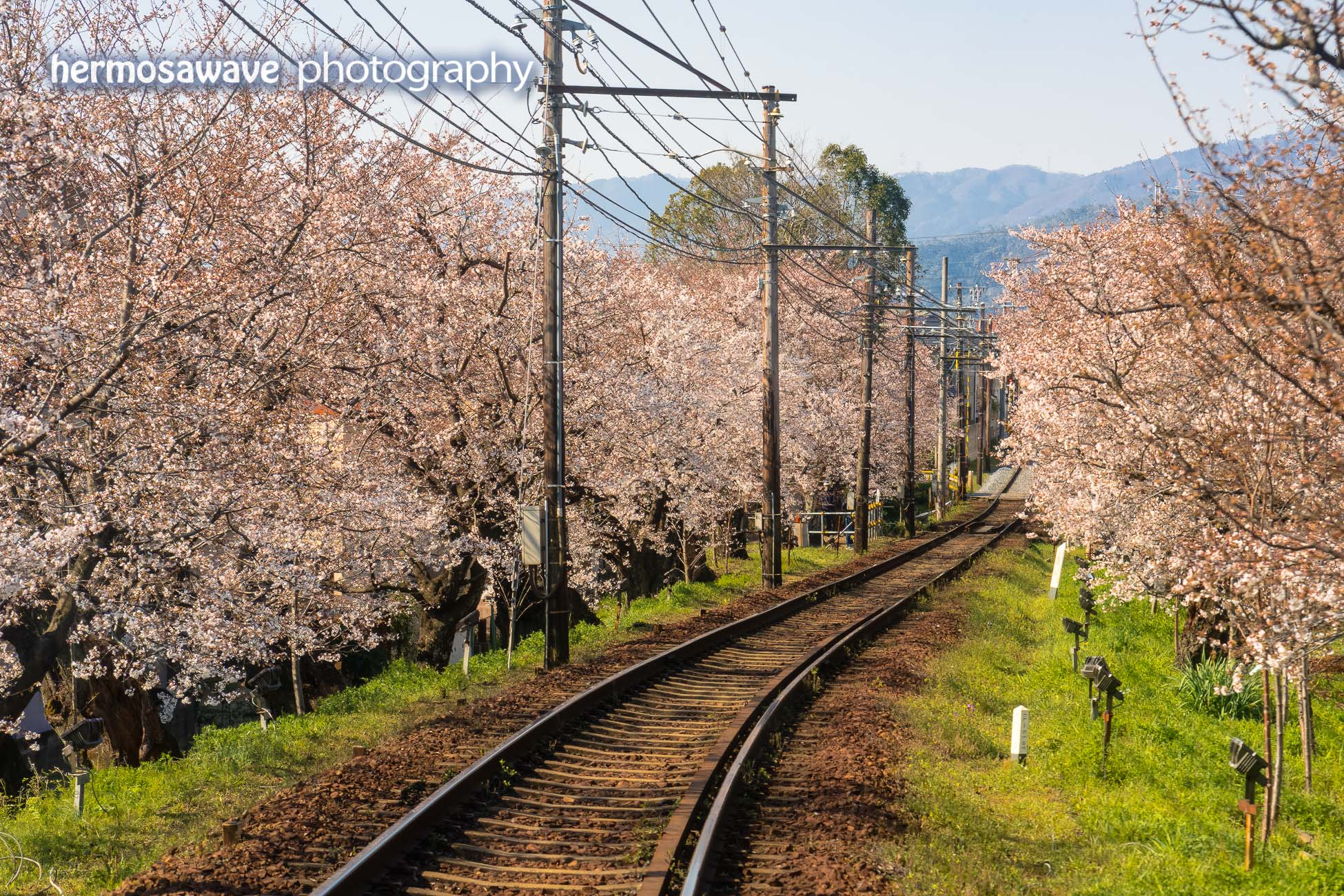 Sakura on the Kitano Line