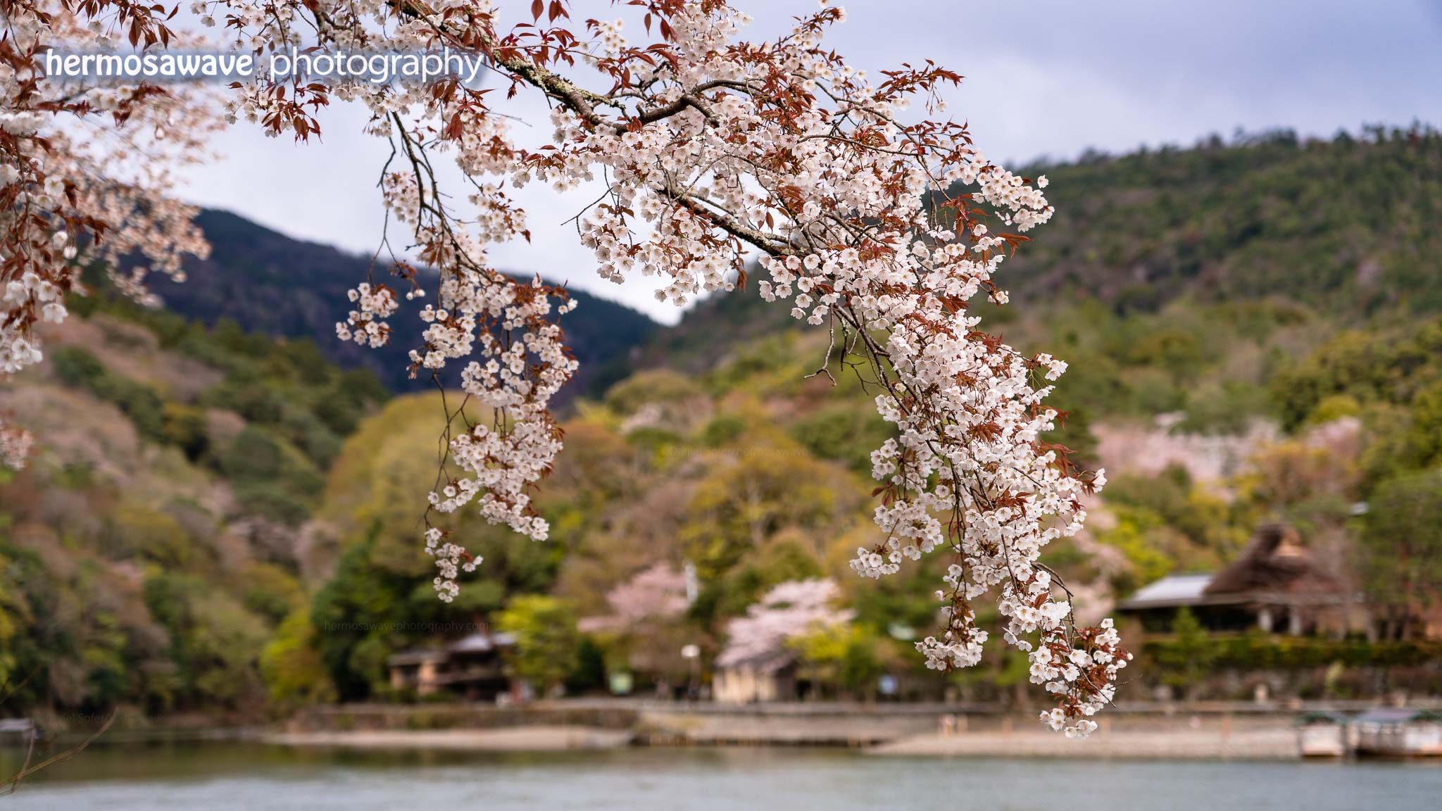 Sakura Over the River
