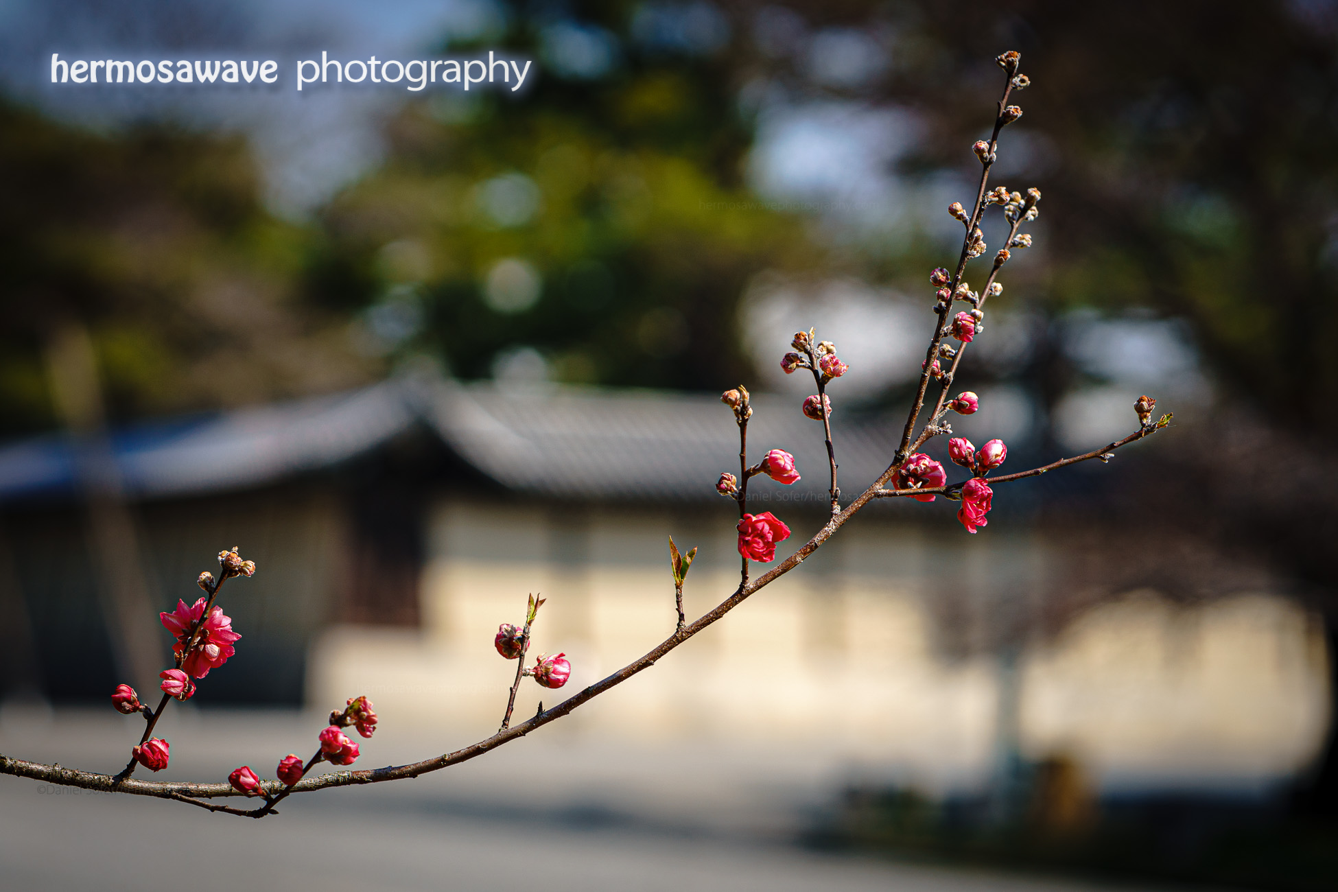 Plum Blossoms at Gosho・京都御所に梅