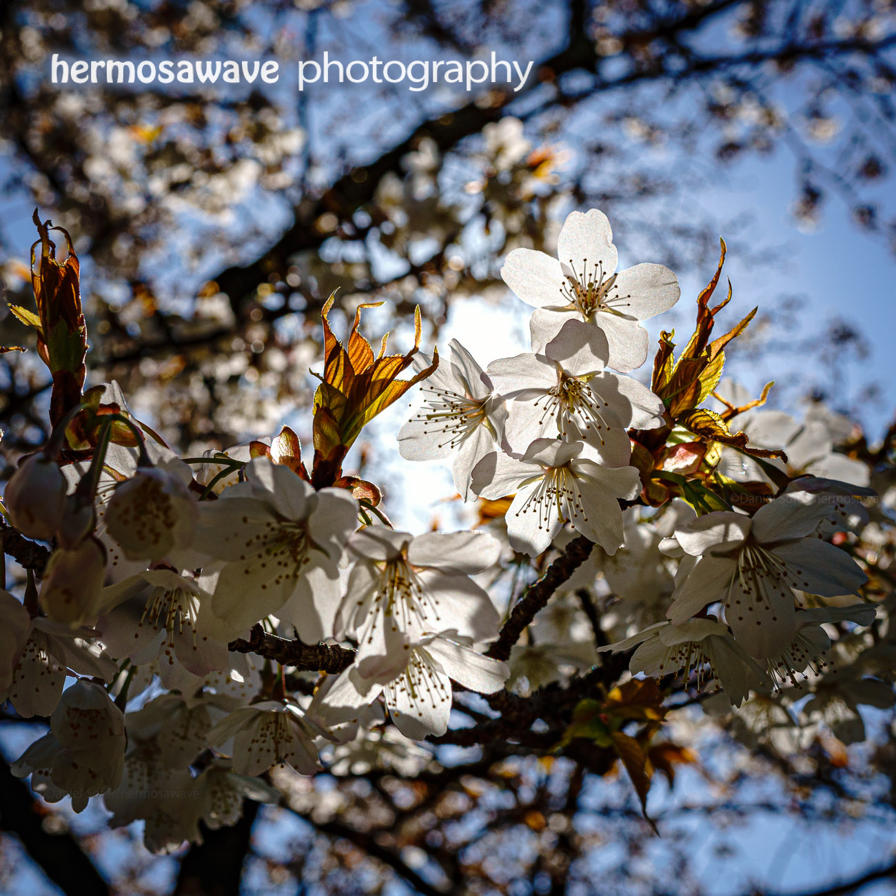 White Cherry Blossoms・白の桜