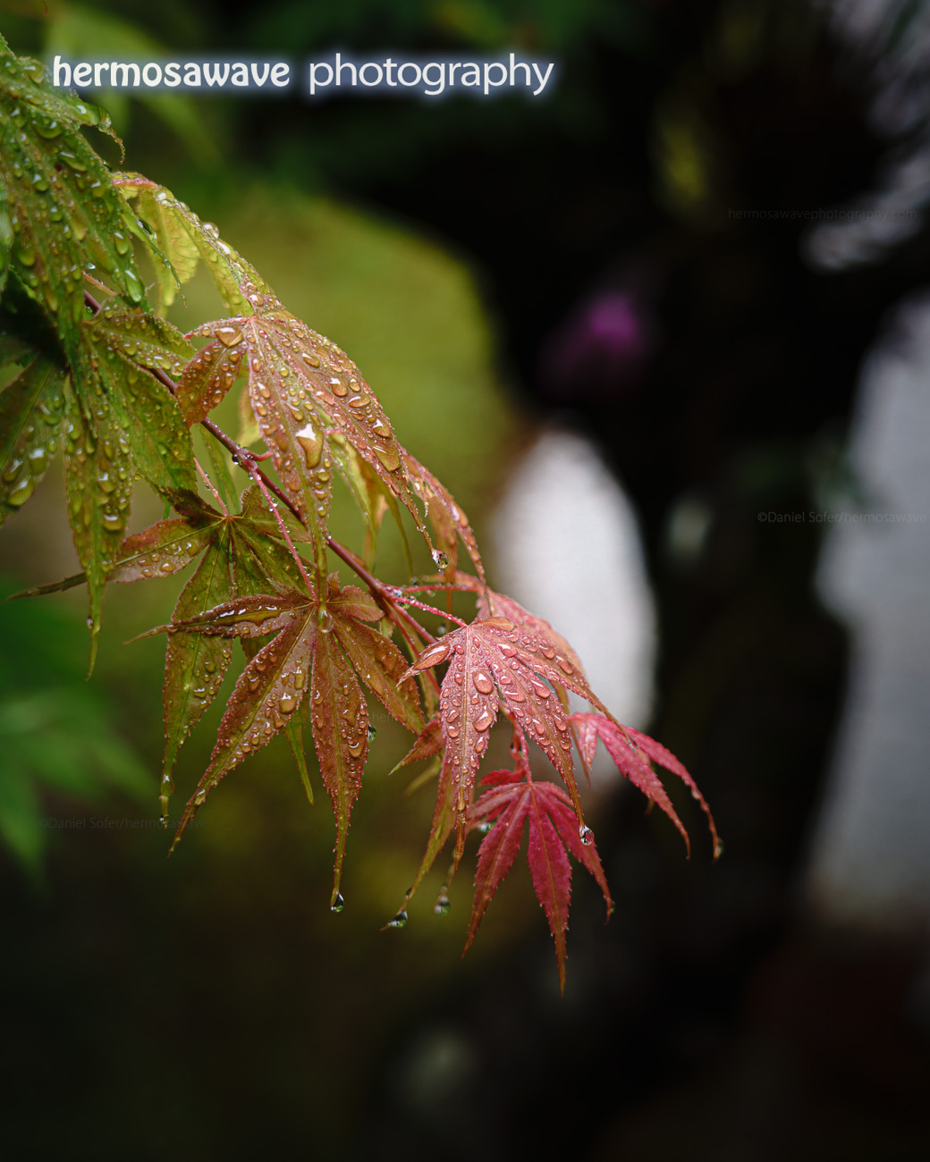 Rain on Maple Leaves・ もみじに雨