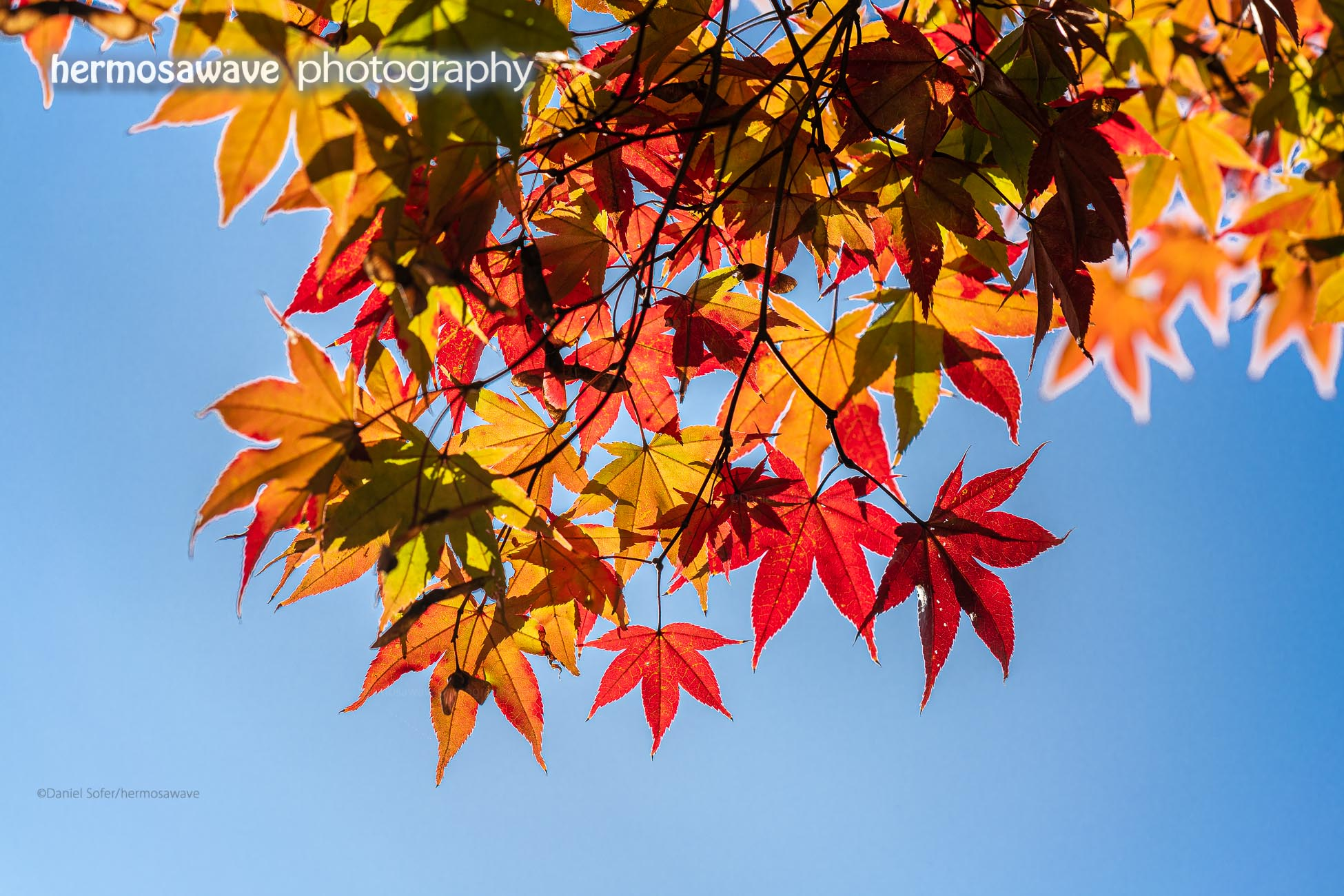 Autumn Leaves・紅葉