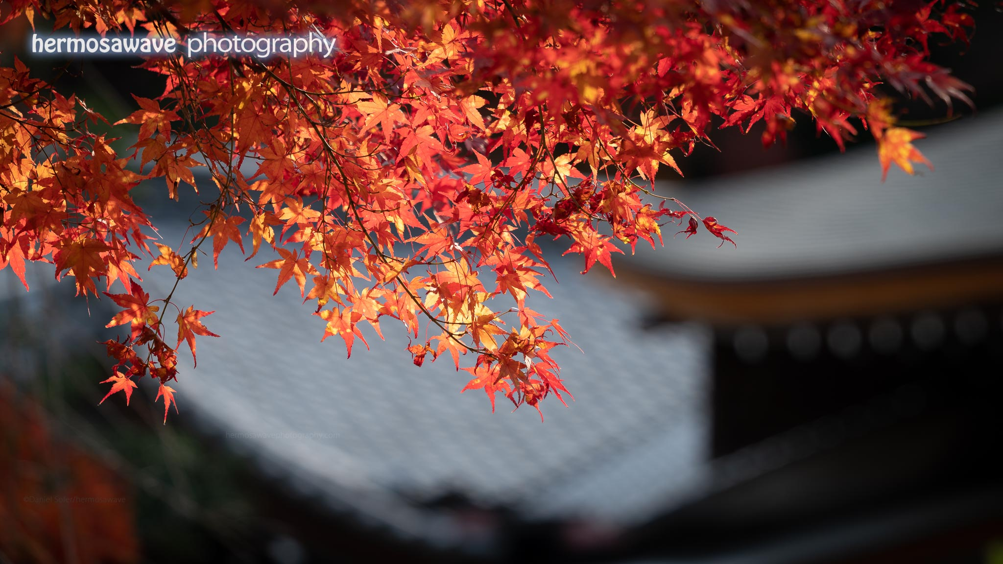 Maple Leaves at Nison-in・二尊院の紅葉