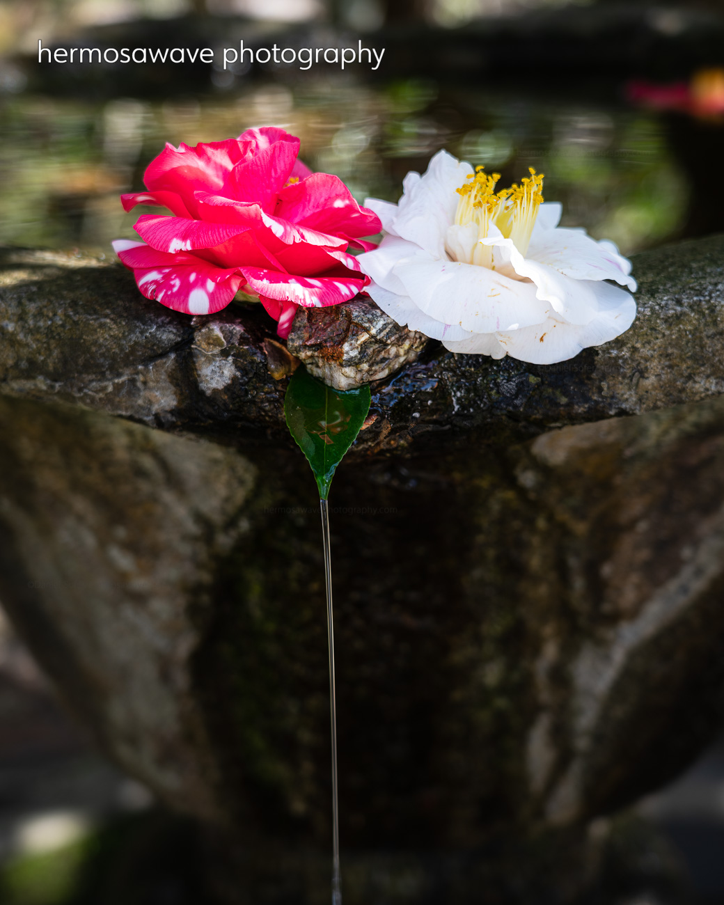 Water Basin with Camellias・蹲のツバキ