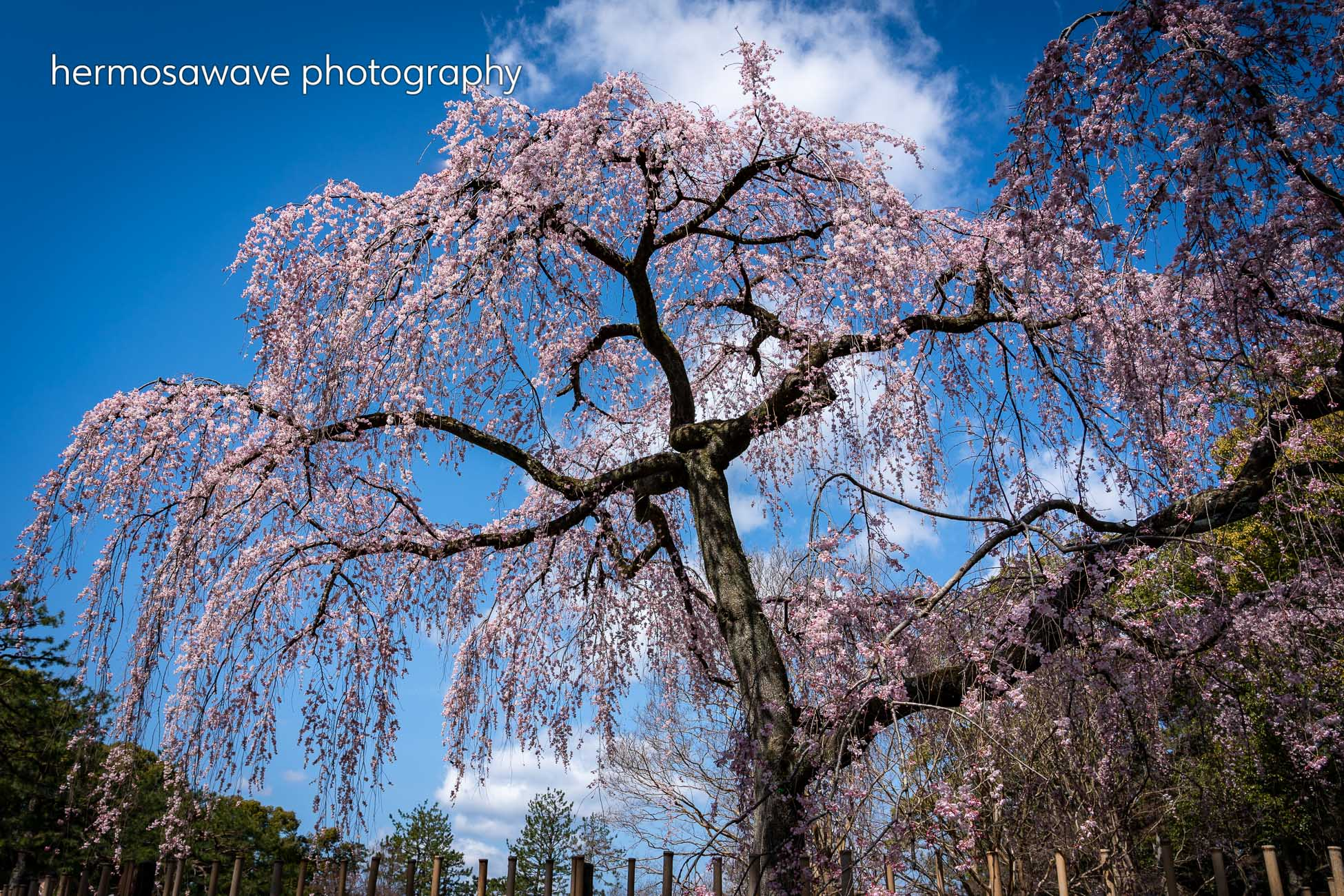 Weeping Cherry Tree・枝垂れ桜